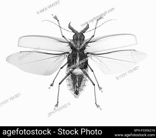 Macrodontia cervicornis, X-ray