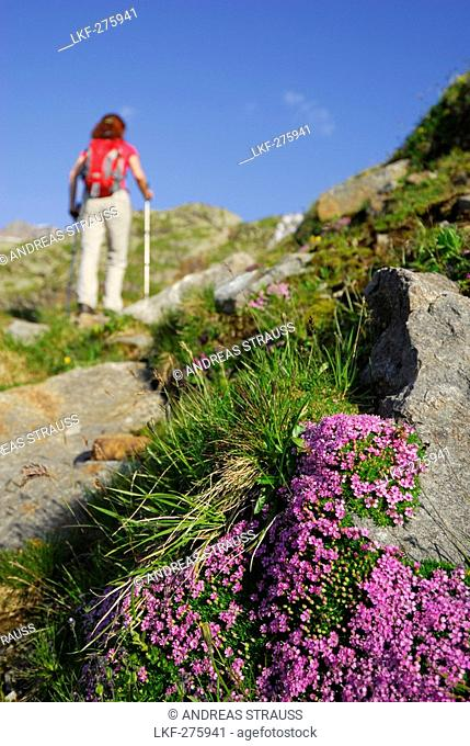 Blooming campion, female hiker in background, Stubai Alps, Trentino-Alto Adige/South Tyrol, Italy