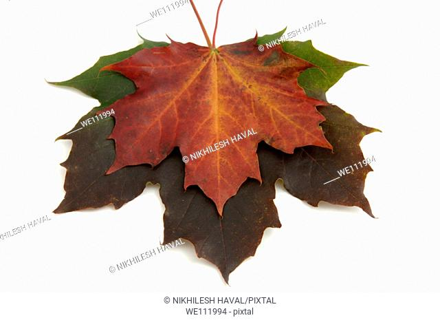 Red leaf over green of maple tree - acer on white background