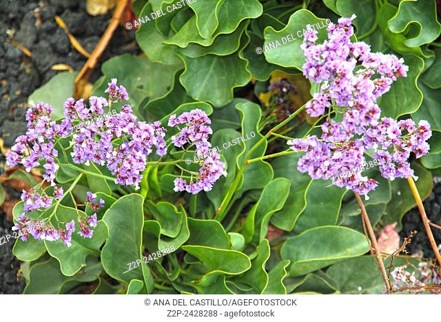 Tropical resort Canary islands Limonium sinuatum
