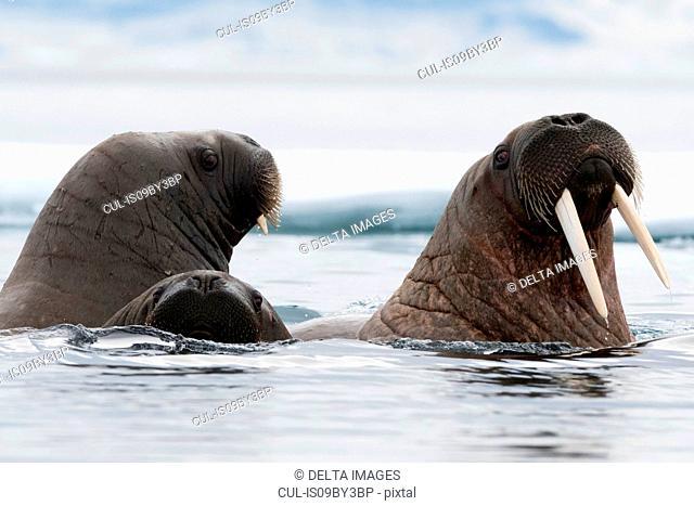 Small group of Atlantic walruses (Odobenus rosmarus) swimming in ocean, close up, Vibebukta, Austfonna, Nordaustlandet, Svalbard, Norway
