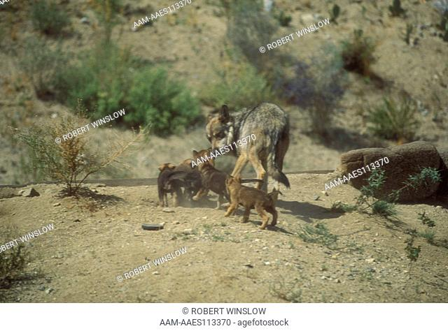 Mexican Wolf & Pups IC (Canis lupus baileyi)