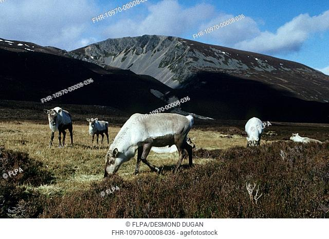 Reindeer Rangifer taranous Group on moor - Strathnethy, Cairngorms, Scotland