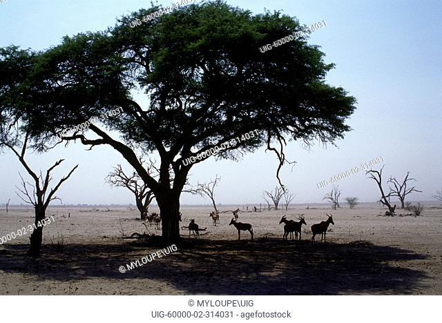 TOPI seek shade in the hot & dry SAVUTI MARSH which dried up in the 1960's - CHOBE NATIONAL PARK, BOTSWANA