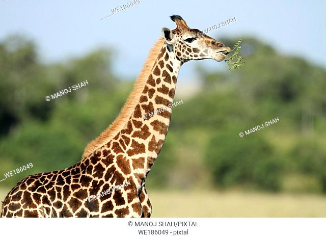 The tallest animal in the world which browses on tree leaves and twigs