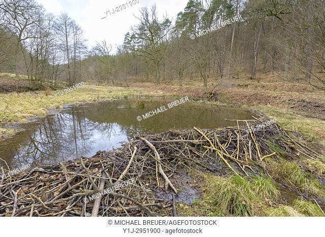 Beaver dam from european beaver (Castor fiber), Spessart, Hesse, Germany, Europe