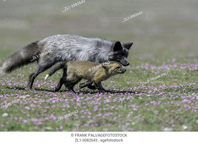 The cross fox family (Vulpes vulpes).San Juan Island, USA