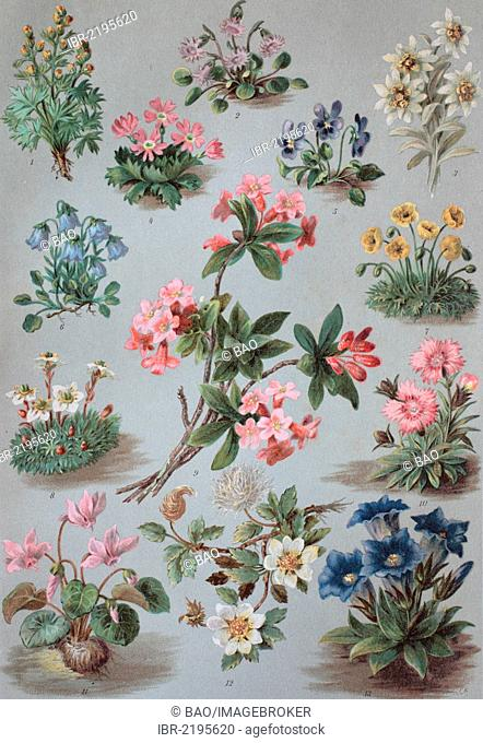 Alpine plants, 1. Alps Wormwood (Artemisia umbelliformis), 2. Snowbell (Soldanella), 3. Edelweiss (Leontopodium nivale), 4. Primrose (Primula), 5