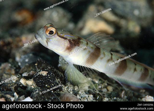 Masked Shrimpgoby (Amblyeleotris gymnocephala), Gemaf dive site, Weda, Halmahera, North Maluku, Indonesia, Halmahera Sea