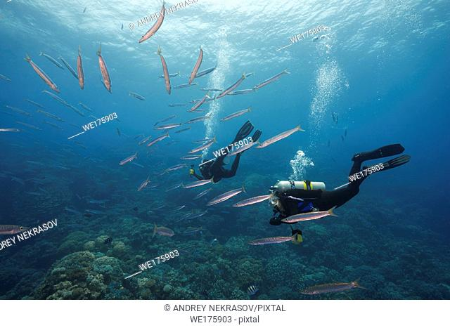 Female ccuba diver swim and look at on school of Bigeye Barracuda (Sphyraena forsteri) in the blue water