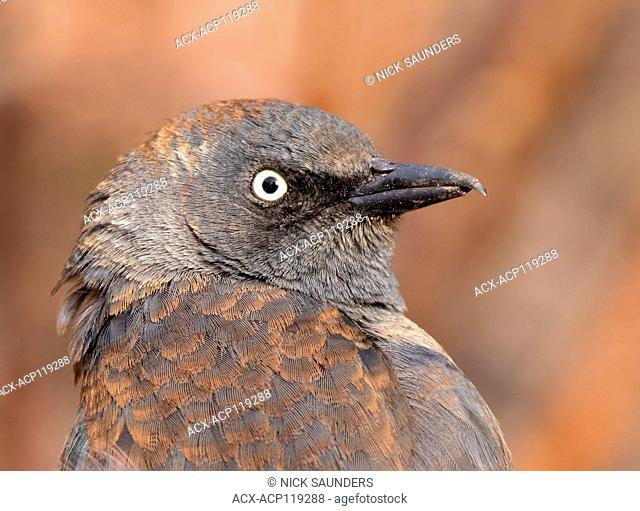 Rusty Blackbird, Euphagus carolinus , in winter plumage, close-up in Saskatoon, Saskatchewan