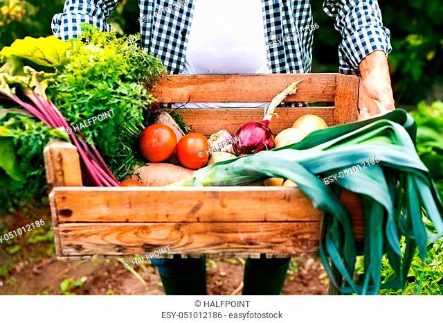 Unrecognizable senior man harvesting vegetables on allotment. Man gardening. Close up