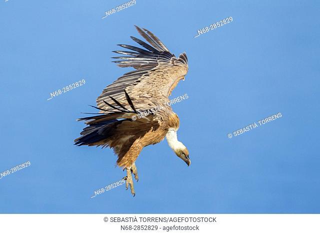 Griffon vulture (Gyps fulvus) in flight at Serra de Tramuntana, Majorca, Balearic Islands, Spain