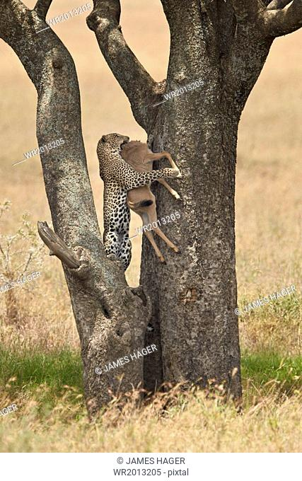 Leopard (Panthera pardus) carrying a days-old blue wildebeest (brindled gnu) (Connochaetes taurinus) calf up a tree, Serengeti National Park, Tanzania