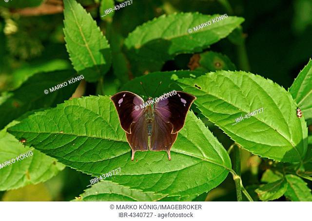 Nymphalidae (Nymphidae) Tropical Butterfly (Memphis Acidalia), Iguazú National Park, Paraná, Brazil