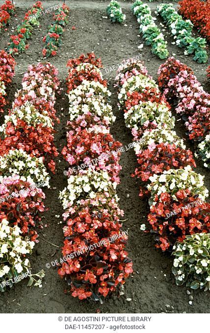 Begonia (Begonia Vision), Begoniaceae