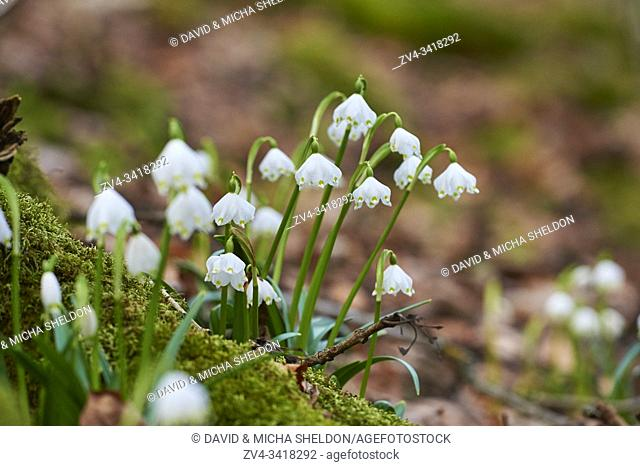 Spring snowflake (Leucojum vernum) flowering in a forest in spring, Upper Palatinate, Bavaria, Germany, Europe