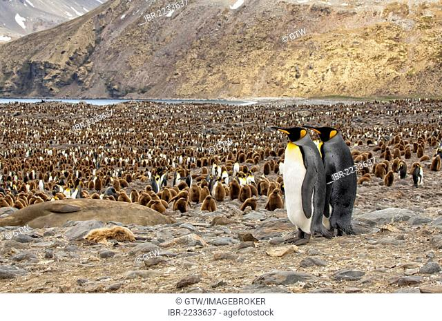 King penguins (Aptenodytes patagonicus) overlooking the colony, St. Andrews Bay, South Georgia Island
