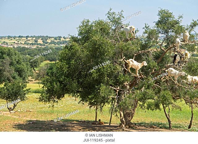Goats in tree in countryside outside Marrakech