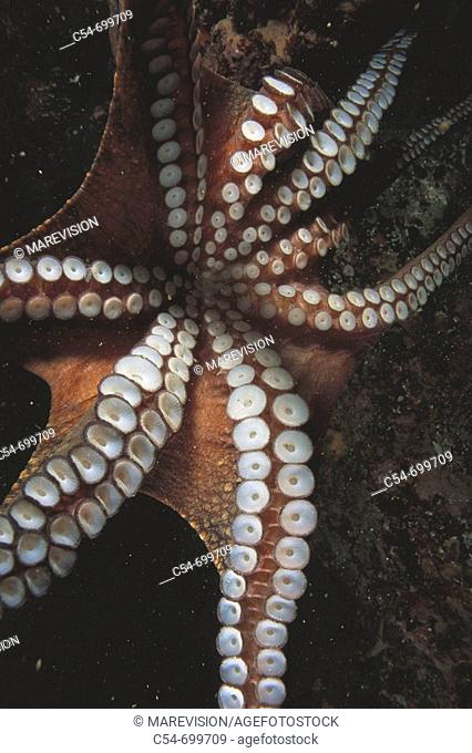 Eastern Atlantic. Galicia. Spain. Detail of the suckers of an octopus (Octopus vulgaris)