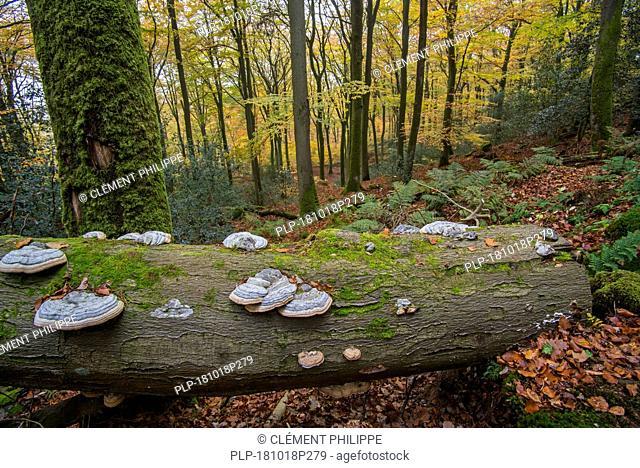 False tinder fungus / hoof fungus / tinder conk / tinder polypore (Fomes fomentarius / Polyporus fomentarius) on fallen tree trunk in autumn forest