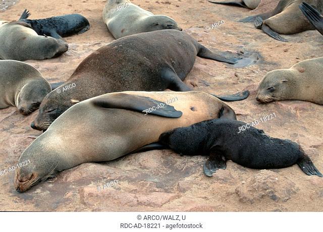 South African Fur Seals, female nursing young, Cape Cross, Namibia, Arctocephalus pusillus