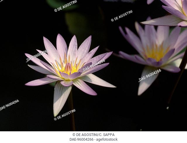 Blue Star Water-lily (Nymphaea stellata), Nymphaeaceae