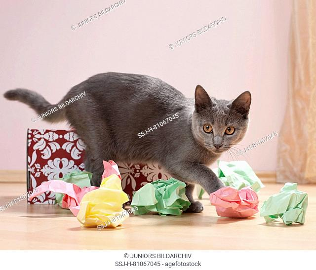 Chartreux cat. Kitten playing with a box filled with paper, fine toy for cats. Germany