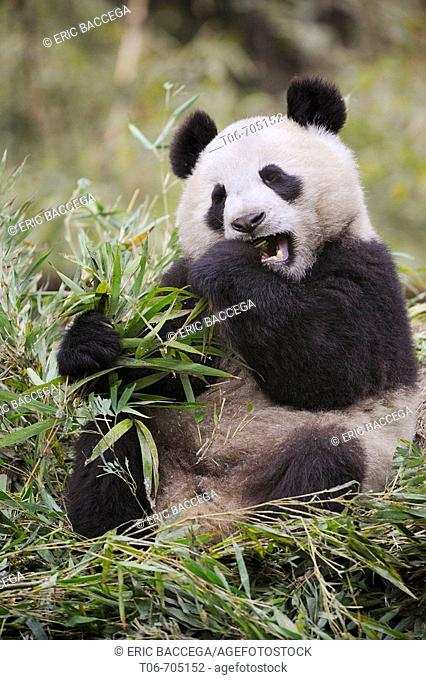 Giant panda feeding on bamboo (Ailuropoda melanoleuca) Wolong Nature Reserve, China