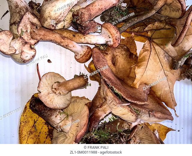 Wild Armillaria Mushrooms