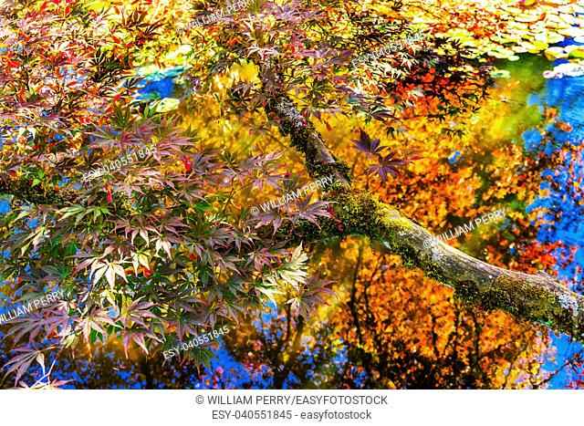 Red Yellow Orange Japanese Maple Trees Reflection Abstract Van Dusen Garden Vancouver Canada