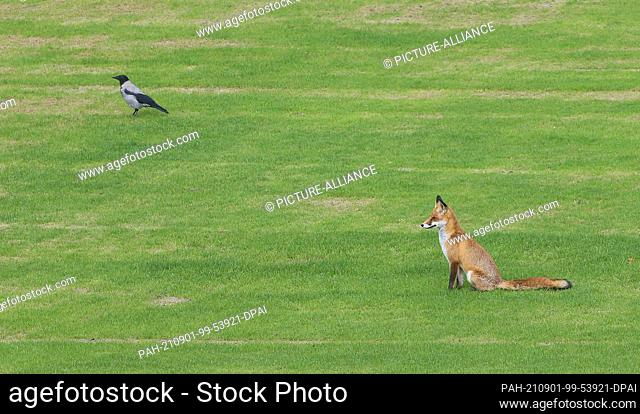 01 September 2021, Berlin: A red fox and a hooded crow sit on the lawn of the garden of Bellevue Palace, the official residence of the Federal President