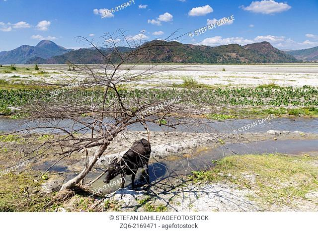 Water Buffalo around the Volcano Pinatubo, Luzon, Philippines