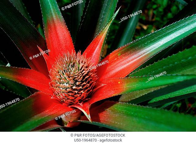 Ananas sp. fruit, Bromeliaceae. Multiple fruit