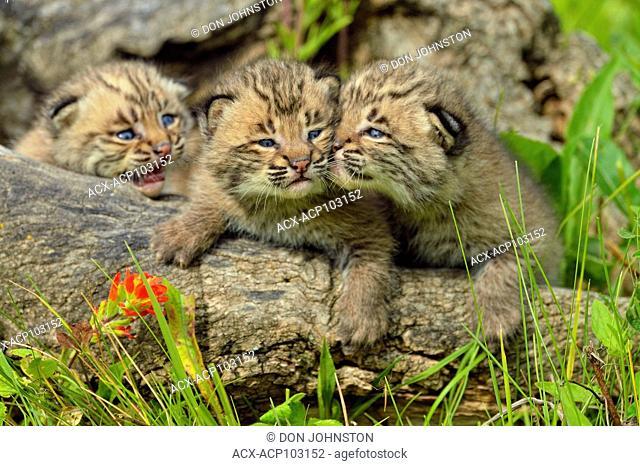 Bobcat (Felis rufus) Kittens, captive raised, Minnesota wildlife Connection, Sandstone, Minnesota, USA