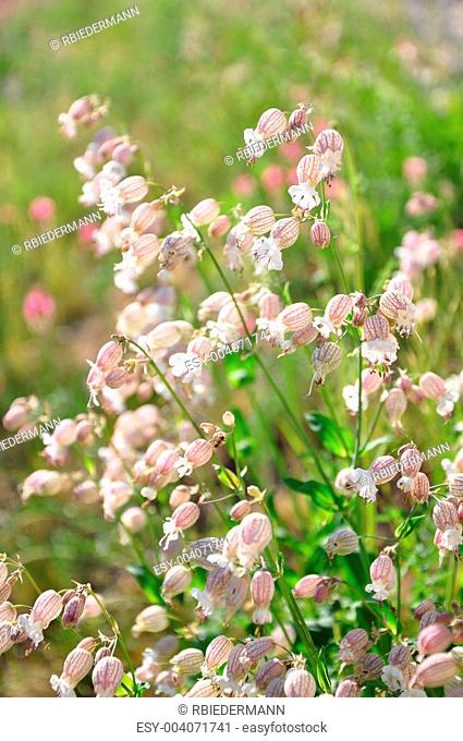 Bladder campion Silene vulgaris