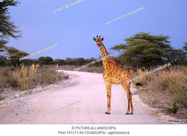 29 November 2019, Namibia, Etosha-Nationalpark: A giraffe stands on a path in Etosha National Park. Photo: Oliver Berg/dpa