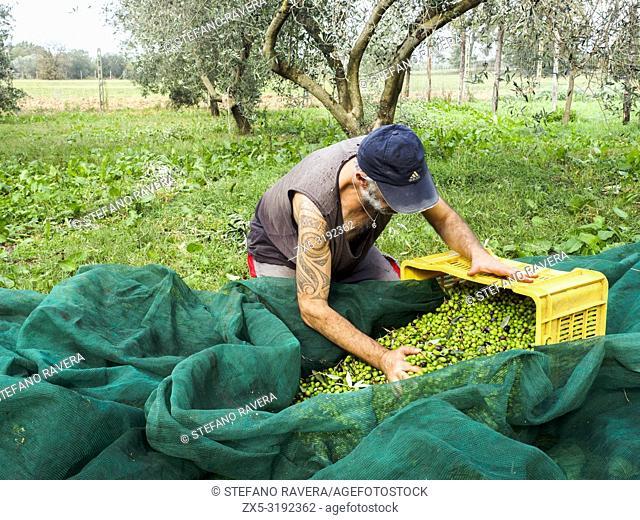 Olives harvesting - Tuscany, Italy