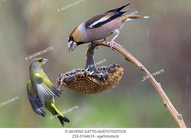 Hawfinch and Greenfinch, tuscany, italy, fight, fighting, (Coccothraustes coccothraustes) (Carduelis chloris)