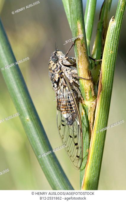 Cicada (Cicada orni), Southern France