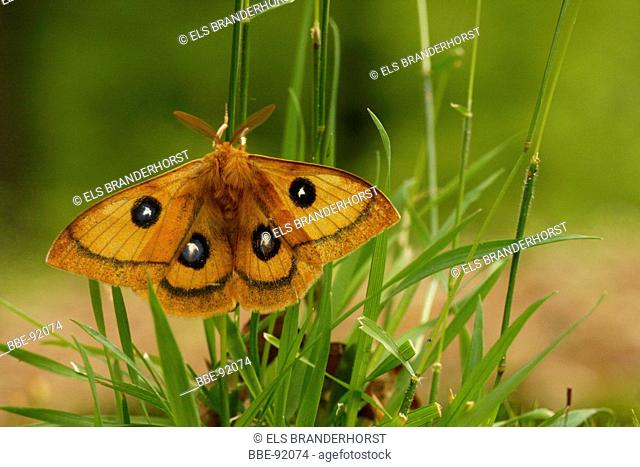 The Tau Emperor is a rare moth, that lives in beech forests