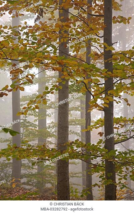 Autumn wood, 'Herzogstand', Bavarian pre-alpine, Alpine foreland, alps, Bavarian uplands, Upper Bavaria, Bavaria, South Germany, Germany
