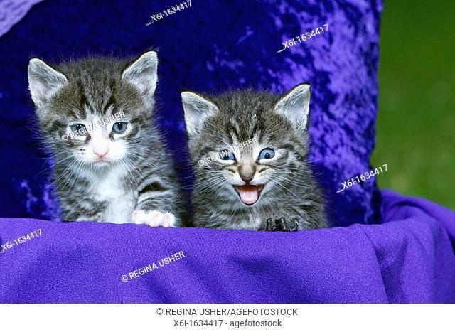 Domestic Cat, Two Kitten Sitting in Basket, Lower Saxony, Germany