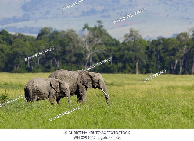 African elephants (Loxodonta africana) feeding in tall grass, Maasai Mara National Reserve, Kenya, Africa