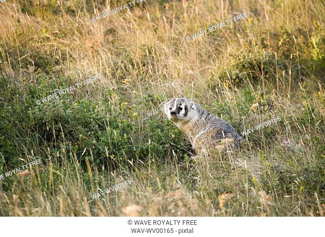 American Badger Taxidea taxus in Rocky Mountain Foothills, Waterton Lakes National Park, Alberta, Canada