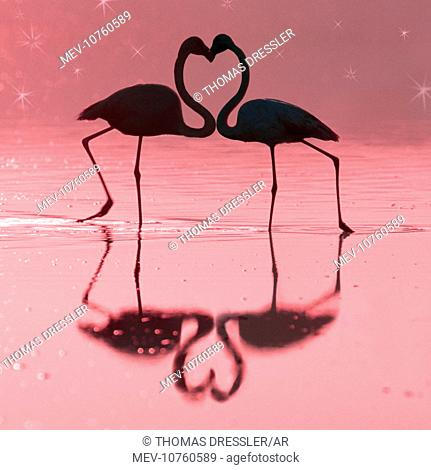 Greater Flamingo - Pair kissing (Phoenicopterus ruber)