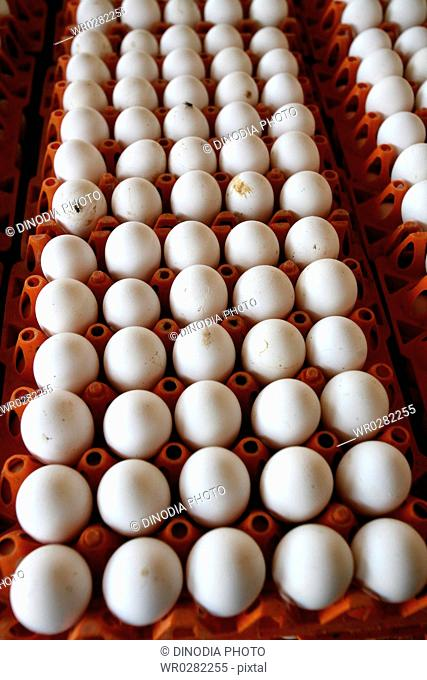 Eggs laid by hens in poultry farm , Sangli , Maharashtra , India
