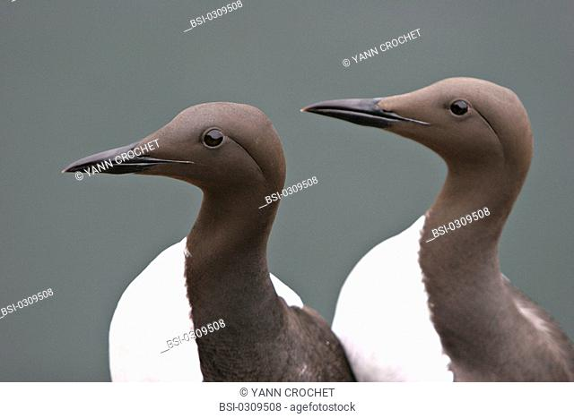 Common murre Common murre Uria aalge, Shetland Islands, Scotland. Uria aalge  Common murre  Guillemot  Alcid  Seabird  Bird