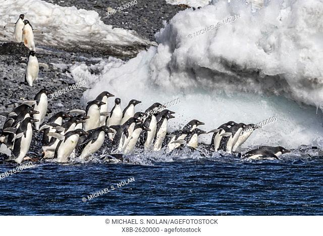 Adélie penguins, Pygoscelis adeliae, returning to the sea at Brown Bluff, Antarctica, Southern Ocean