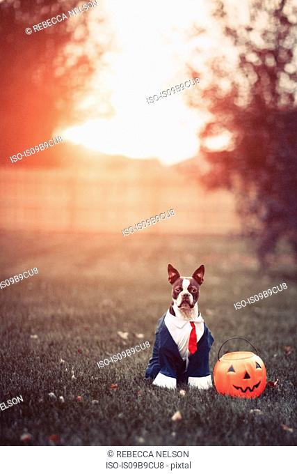 Portrait of boston terrier wearing business attire for halloween in park